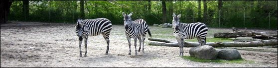 Zebras in the Zoo. Photo taken 2005-05-05.